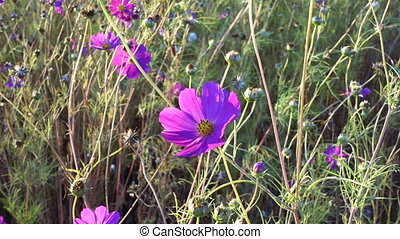 Pink cosmos flower sway on the wind, calm natural background