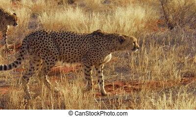 Cheetahs in red desert - Two cheetahs walking on red desert...