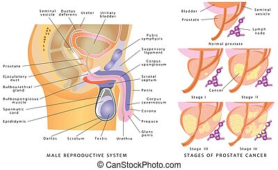 Male Genitourinary System. Anatomy of the male reproductive...