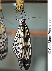 idea leuconoe butterfly being born