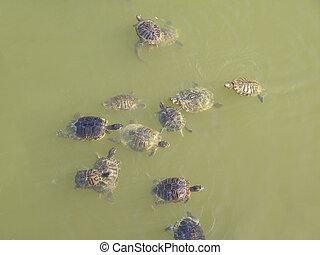 Turtle terrapin tortoise- Animalia Chordata Vertebrata...