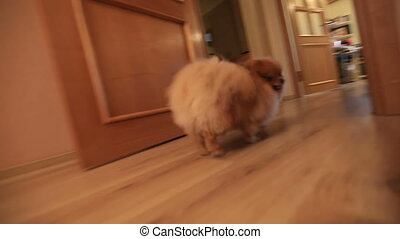 Pursuit Pomeranian dog in a flat