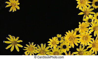 Beautiful floating in water yellow chamomile, spa concept.