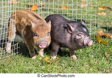 Two little vietnamese pigs in the cage