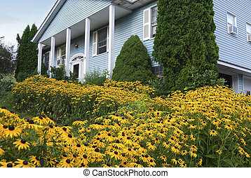 Black Eyed Susans - A large quantity of black eyed susan...