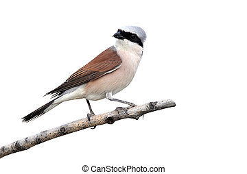 Red-backed shrike, Lanius collurio, single male perched on...