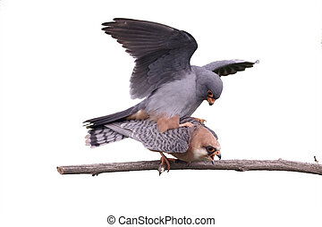 Red-footed falcon, Falco vespertinus, pair mating, Hungary,...