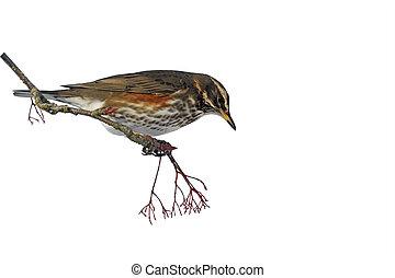 Redwing, Turdus iliacus, single bird on rowan berries, West...