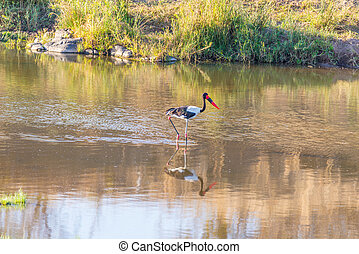 Saddle-billed stork hunting in the water. Kruger National...
