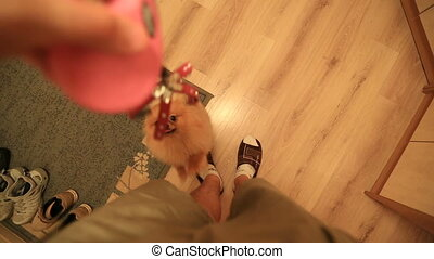 Pomeranian dog wants to walk - Pomeranian dog Spitz dwarf...