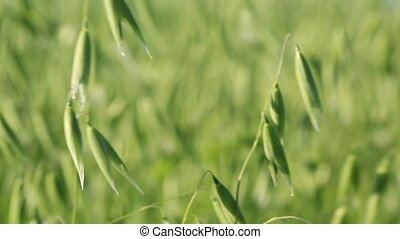 Oat seeding green field close-up
