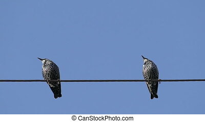 Birds Sitting On On A Wire And Fly Away, Blackbirds,Slow...