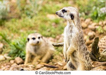 Suricata Suricatta - Meercats Photo