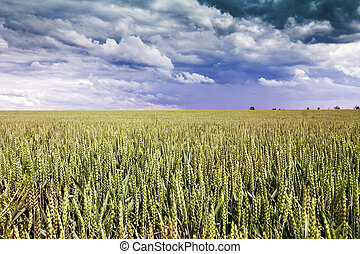 Wheat Field with Clouds on Blue Sky - Czech Republic, Europe