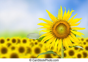 Abstract floral background with sunflower in the garden.