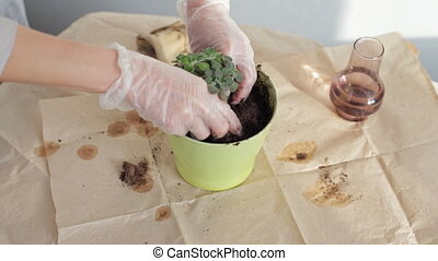 Woman planting plants - Woman planting home plants indoors