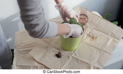 Woman plants houseplant in green pot. Hands in gloves