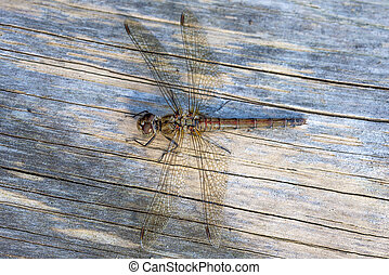 Dragonfly Female Common Darter - Female Common Darter...