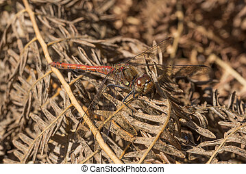 Male Common Darter Dragonfly - Common Darter Dragonfly...