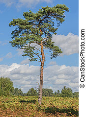 Scots Pine Tree - Scots Pine tree standing proud in a...