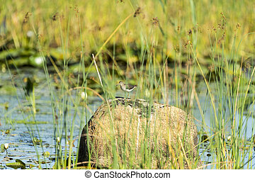 Solitary Sandpiper on rock - Solitary Sandpiper considers...