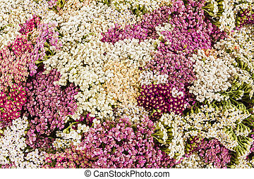 Abstract background of flowers yarrow, close-up