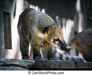 Nasua portrait - Ring-tailed coati. Animal scene. Beauty in...