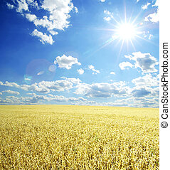 wheat field - Field of wheat over blue sky