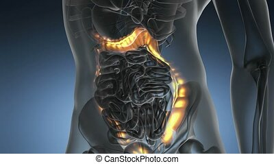 science anatomy scan of human colon glowing with yellow