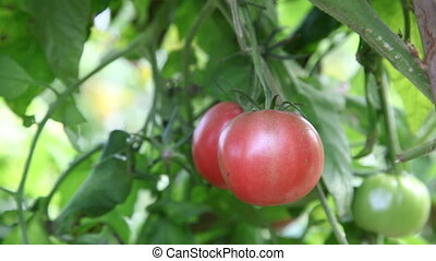Green tomatoes ripening on vine - Green roma tomatoes on...