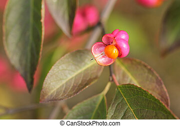 common spindle fruit in autumn - close photo of bright pink...