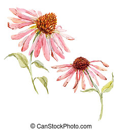 Watercolor pink echinacea flower - Beautiful image with...