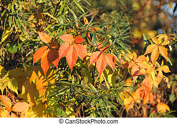 colorful woodbine - colorful leaves of woodbine growing on...