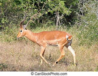 Africa Wildlife: Impala - Male Impala Antelope (Aepyceros...