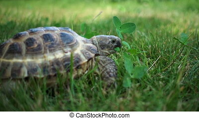 Turtle Feeding on Grass - turtle slowly feeding on green...