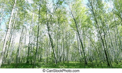 Spring Forest - Panorama of bright spring birch forest