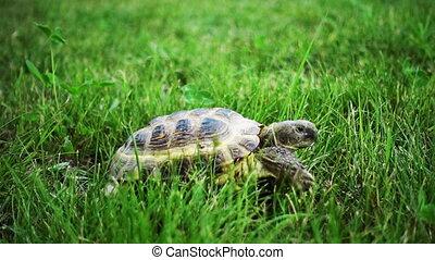 Turtle Feeding on Grass - turtle slowly feeding on green...