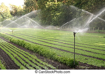 Nursery plantation being watered - Water sprinkler system...