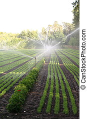 Water sprinkler system working on a nursery plantation
