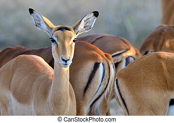 Thomson's gazelle on savanna in Africa
