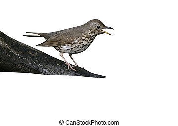 Song thrush, Turdus philomelos, single bird at water,...
