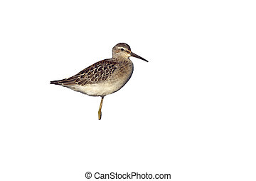 Stilt sandpiper, Micropalama himantopus, New York, USA,...
