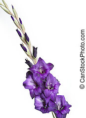 Gladiolus - A purple gladiolus isolated on a white...