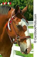 Clydesdale - Portrait of Clydesdale