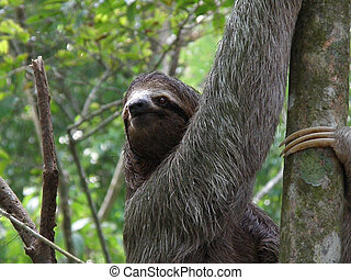 Up Close and Personal with a Sloth - Sloth climbing a tree...