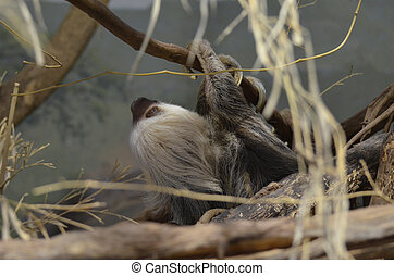 Sloth Hanging From a Tree Branch