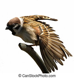 Tree Sparrow isolated on white - Tree Sparrow stretched wing...