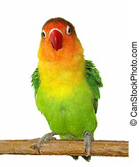 Lovebird isolated on white Agapornis fischeri (Fischer\'s...