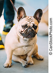 French Bulldog is small breed of domestic dog. - The French...