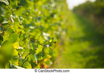 green wineyard background - background made of close up...